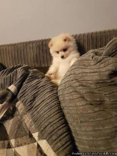 Pure White Pomeranian puppies