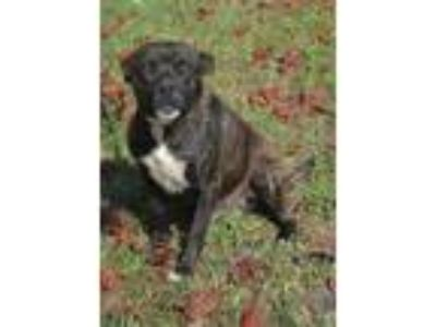 Adopt Theo a Plott Hound / Mixed dog in Whiteville, NC (25338558)