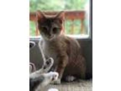 Adopt Pele a Tan or Fawn Domestic Shorthair / Domestic Shorthair / Mixed cat in