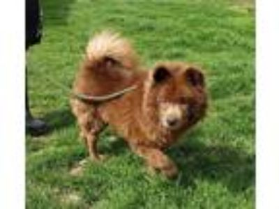Adopt Dudley a Red/Golden/Orange/Chestnut Chow Chow / Mixed dog in Martinsville
