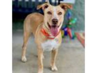 Adopt Aspen a Tan/Yellow/Fawn - with White Hound (Unknown Type) / Mixed dog in
