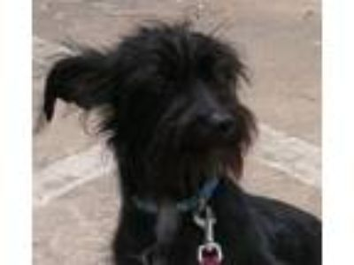 Adopt Walley a Terrier, Schnauzer