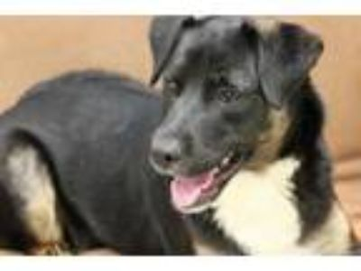 Adopt BANDIT a Labrador Retriever, Mixed Breed