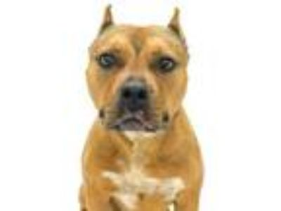 Adopt CALI a Brown/Chocolate - with Tan American Pit Bull Terrier / Mixed dog in