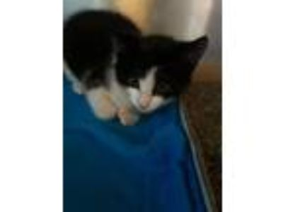 Adopt Zorro a Domestic Short Hair