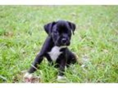 Adopt Zara a Brindle Terrier (Unknown Type, Small) / Mixed dog in Columbia