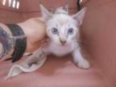 Adopt Millie a White Domestic Shorthair / Domestic Shorthair / Mixed cat in