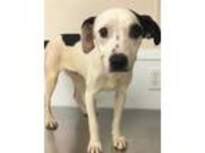 Adopt 41733094 a White Terrier (Unknown Type, Small) / Mixed dog in Bryan