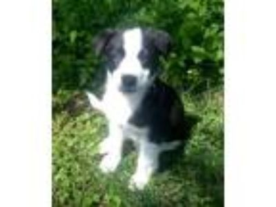 Adopt JOJO a Border Collie
