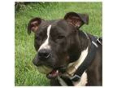 Adopt Bridgette a American Staffordshire Terrier / Mixed dog in Kalamazoo