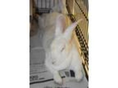 Adopt Mrs. Lemon a New Zealand / Mixed (short coat) rabbit in Fall River