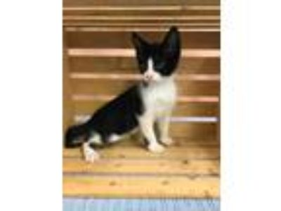 Adopt BANDIT a All Black Domestic Shorthair / Domestic Shorthair / Mixed cat in