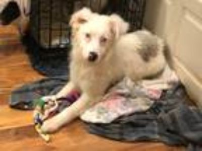 Adopt Jude a White - with Black Australian Shepherd / Mixed dog in Overland