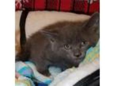 Adopt Stormy a Russian Blue