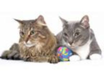 Adopt Ernestine and Louie a Maine Coon, Tabby