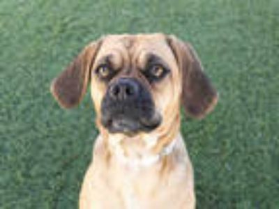 Adopt HONEY a Brown/Chocolate Pug / Beagle / Mixed dog in Agoura, CA (25248064)