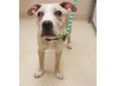 Adopt Joey a Brown/Chocolate American Pit Bull Terrier / Mixed dog in