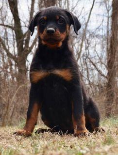 Rottweiler PUPPY FOR SALE ADN-77499 - AKC Champion Line German Rottweiler Puppies Ready