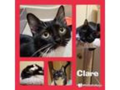Adopt Clare a Domestic Short Hair, Tuxedo