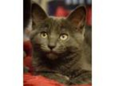 Adopt Atlantis - NORTH CONROE PETSMART a Russian Blue