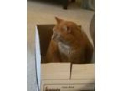 Adopt Dexter a Orange or Red Tabby American Shorthair / Mixed cat in