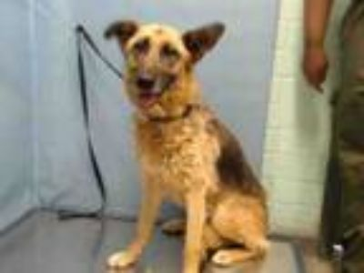 Adopt COCO a German Shepherd Dog, Mixed Breed