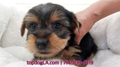 Yorkshire Terrier PUPPY FOR SALE ADN-69453 - Yorkshire terrier Female Stanford