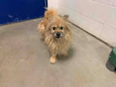 Adopt *RI-RA a Brown/Chocolate Cairn Terrier / Mixed dog in Brighton