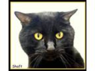 Adopt Shaft a All Black Domestic Shorthair / Domestic Shorthair / Mixed cat in