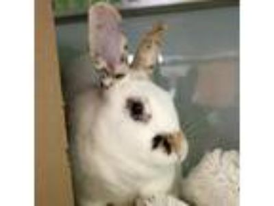 Adopt Auggie a Multi Rhinelander / Mixed (short coat) rabbit in Jefferson