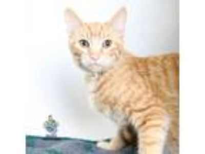 Adopt Goldenface a Orange or Red Domestic Shorthair cat in Knoxville