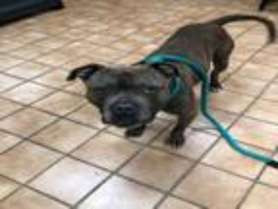 Adopt CLIVE a Staffordshire Bull Terrier