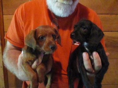 Poodle/Doxen cross puppy, Little Red NEEDS a HOME