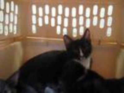 Adopt Chunky a All Black Domestic Shorthair / Domestic Shorthair / Mixed cat in