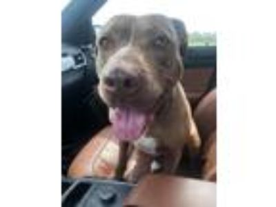 Adopt Maise a Brown/Chocolate - with White American Staffordshire Terrier /