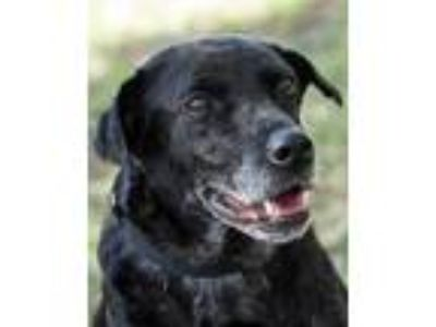 Adopt Kandy a Black Retriever (Unknown Type) / Mixed dog in Loxahatchee