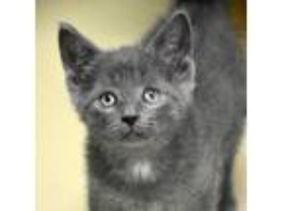 Adopt Copy Cat 190262 a Gray or Blue Domestic Shorthair cat in Escanaba