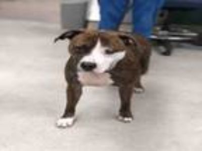 Adopt BAILEY a American Staffordshire Terrier