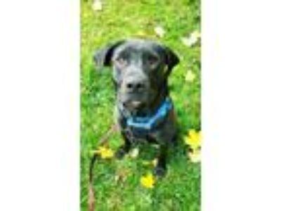 Adopt Asher a Black Labrador Retriever / Mixed dog in Wellsville, NY (25184759)