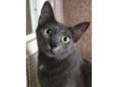 Adopt Blue a Domestic Short Hair