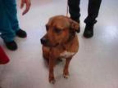 Adopt Stray-Charlie- Avail 5-24 a Brown/Chocolate Hound (Unknown Type) / Mixed