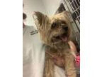 Adopt Oakland a Yorkshire Terrier