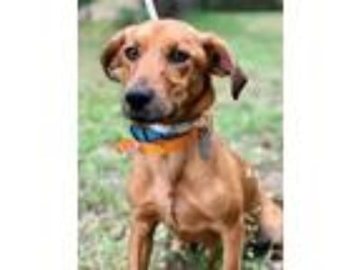 Adopt REGINA a Brown/Chocolate Dachshund / Labrador Retriever / Mixed dog in