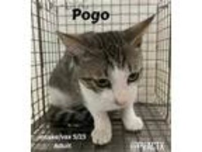 Adopt Pogo a Gray or Blue Domestic Shorthair / Domestic Shorthair / Mixed cat in