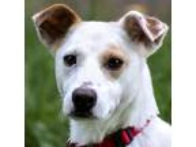 Adopt Kipper a Hound (Unknown Type) / Whippet / Mixed dog in Silverdale