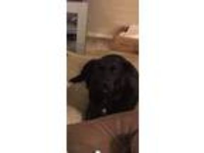 Adopt Kona a Border Collie, Labrador Retriever
