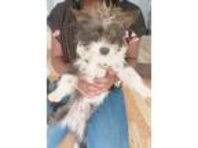 Adopt Scooter a White - with Black Poodle (Miniature) / Terrier (Unknown Type