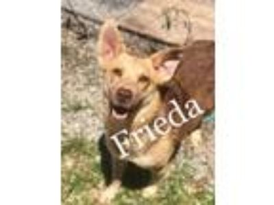 Adopt Frieda a Shepherd, Collie