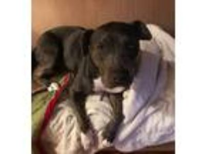 Adopt Brady a Black - with White Pit Bull Terrier / Mixed Breed (Medium) / Mixed