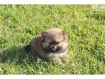 Tiny Adorable Orange Sable Pomeranian Female